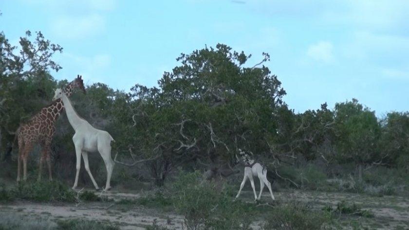 PHOTO / Youtube@Hirola Conservation Program